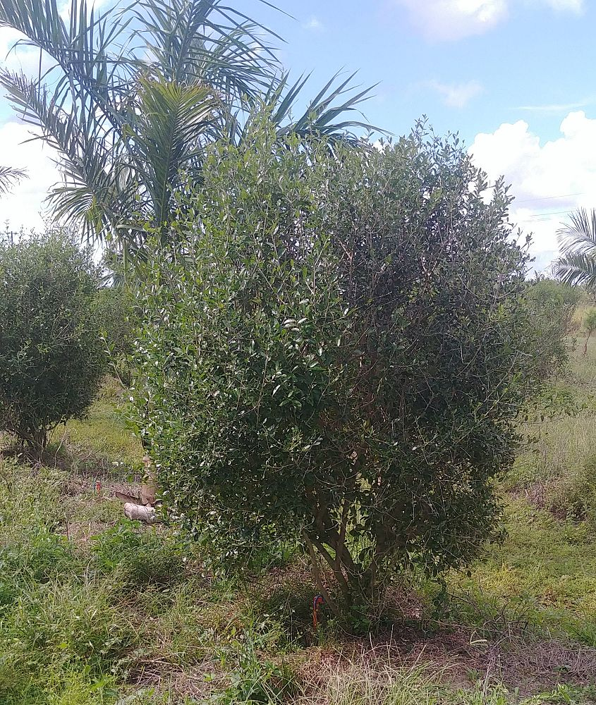 forestiera-segregata-florida-privet