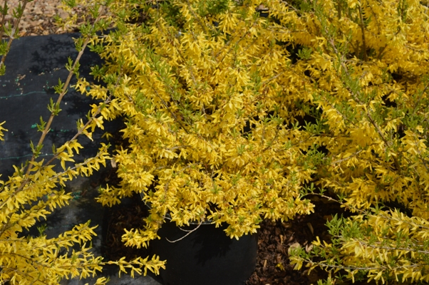 forsythia-courtasol-gold-tide-reg-forsythia