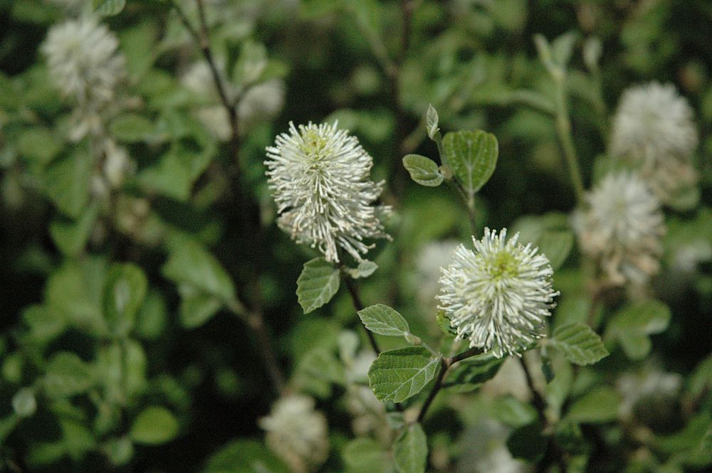 fothergilla-major-mount-airy-witch-alder