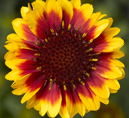 gaillardia-aristata-barbican-yellow-red-ring-gaillardia-indian-blanket-blanket-flower