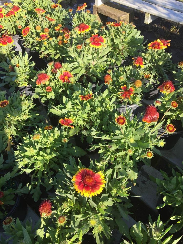 gaillardia-arizona-sun-gaillardia-indian-blanket-blanket-flower