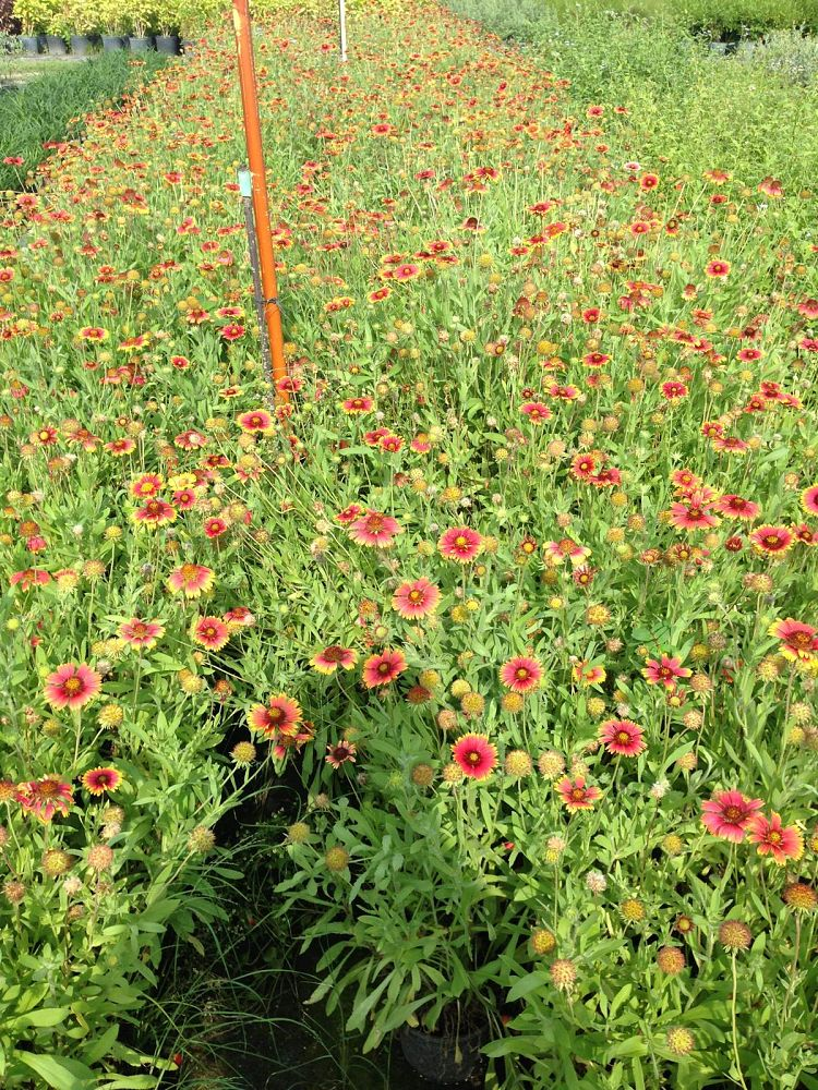 gaillardia-pulchella-indian-blanket-flower