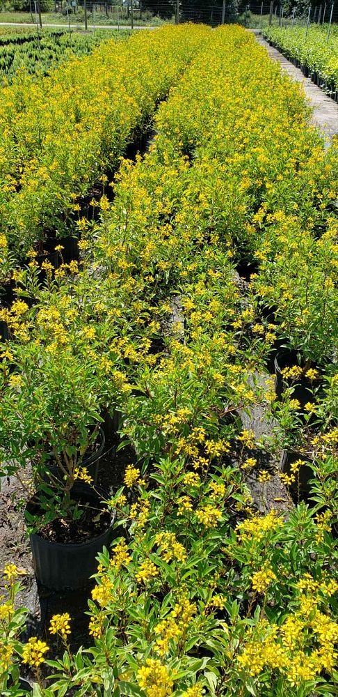galphimia-glauca-gold-shower-galphimia-gracilis-shower-of-gold-golden-thryallis-thryallis-glauca