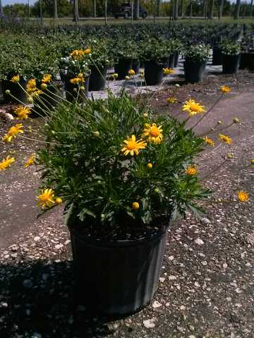 gamolepis-chrysanthemoides-california-bush-daisy