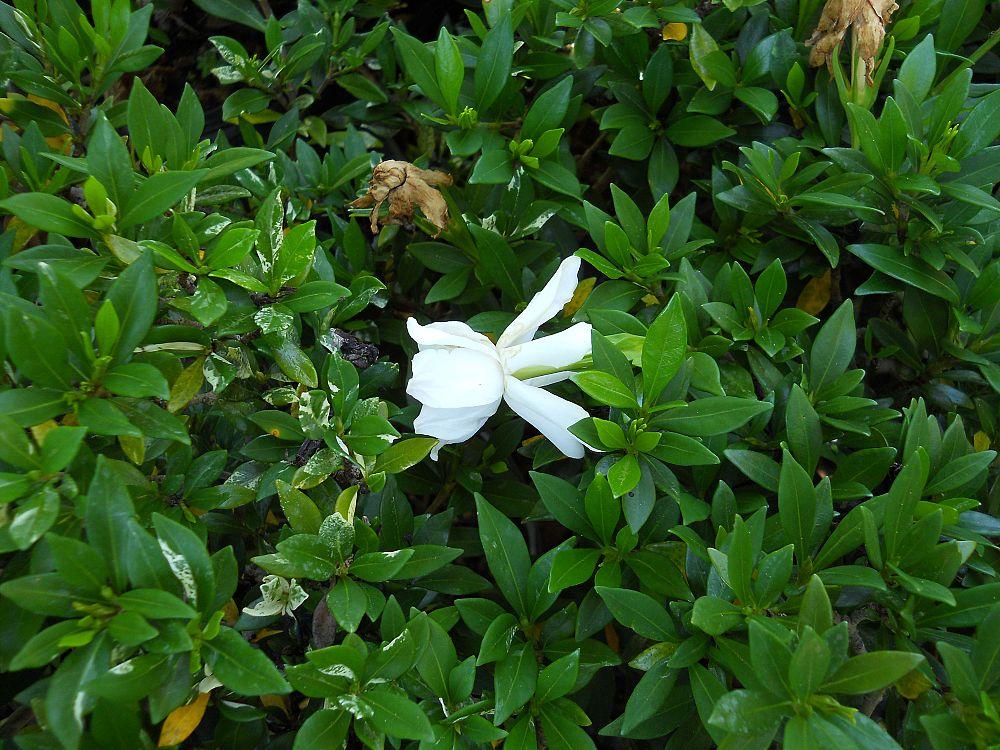Richard Lyons Nursery | plantANT.comGardenia Jasminoides Radicans Variegata