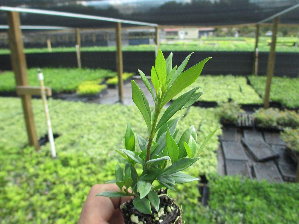 ProGrowers, LLC | plantANT.comGardenia Jasminoides Radicans Variegata