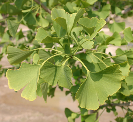 ginkgo-biloba-autumn-gold-maidenhair-tree-ginkgo-tree