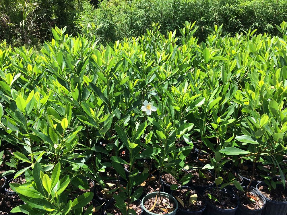 gordonia-lasianthus-loblolly-bay