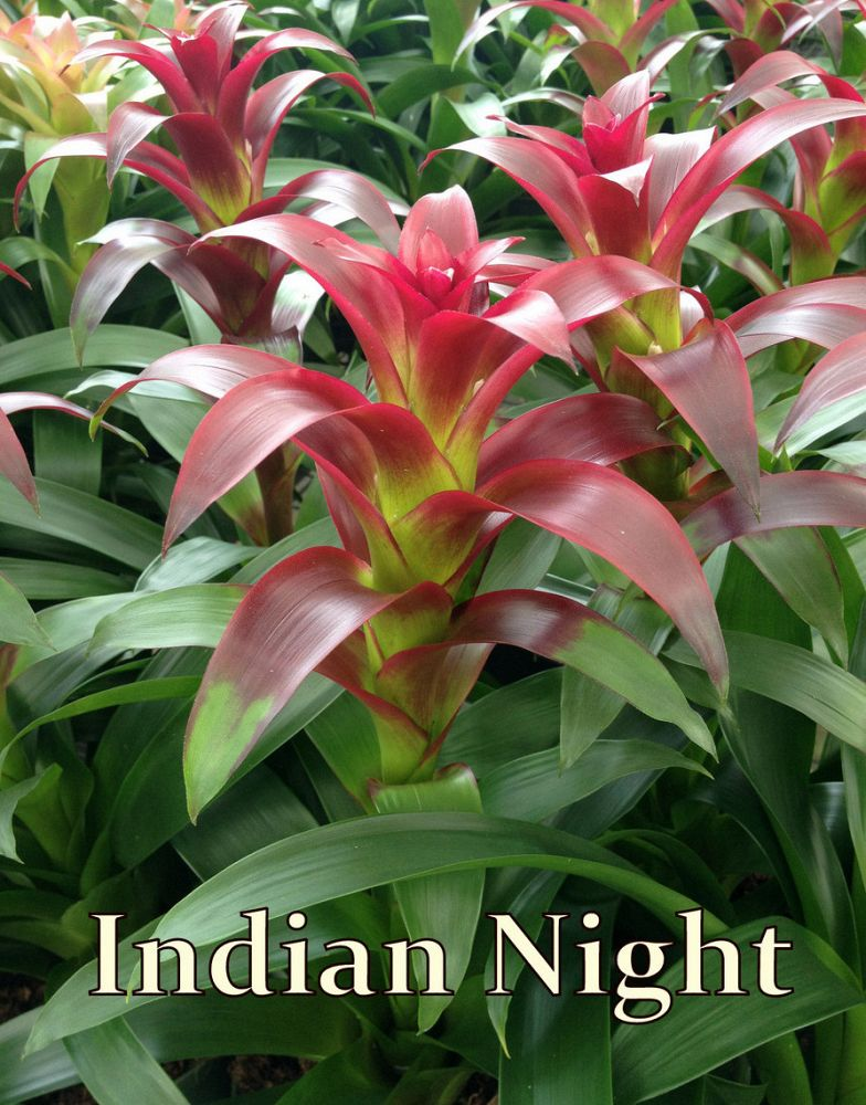 guzmania-indian-night-bromeliad