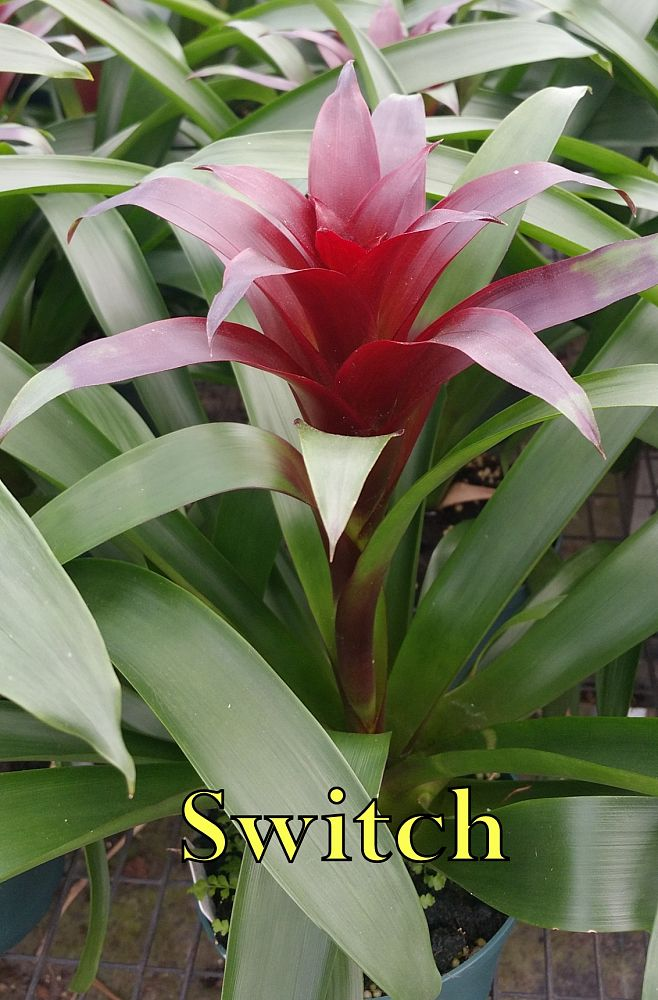 guzmania-switch-bromeliad