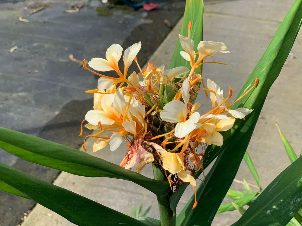 hedychium-tahitian-flame-butterfly-ginger
