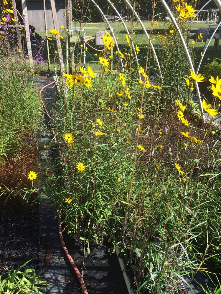 helianthus-angustifolius-narrow-leaf-swamp-sunflower