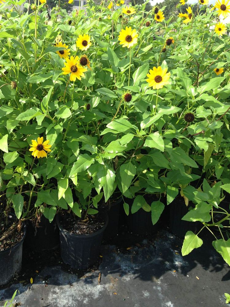 helianthus-debilis-dune-sunflower-beach-sunflower