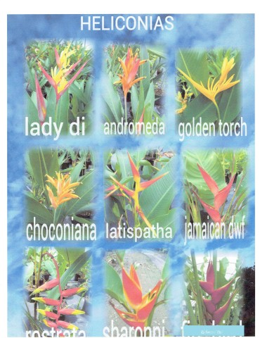 heliconia-rostrata-lobster-claw-heliconia