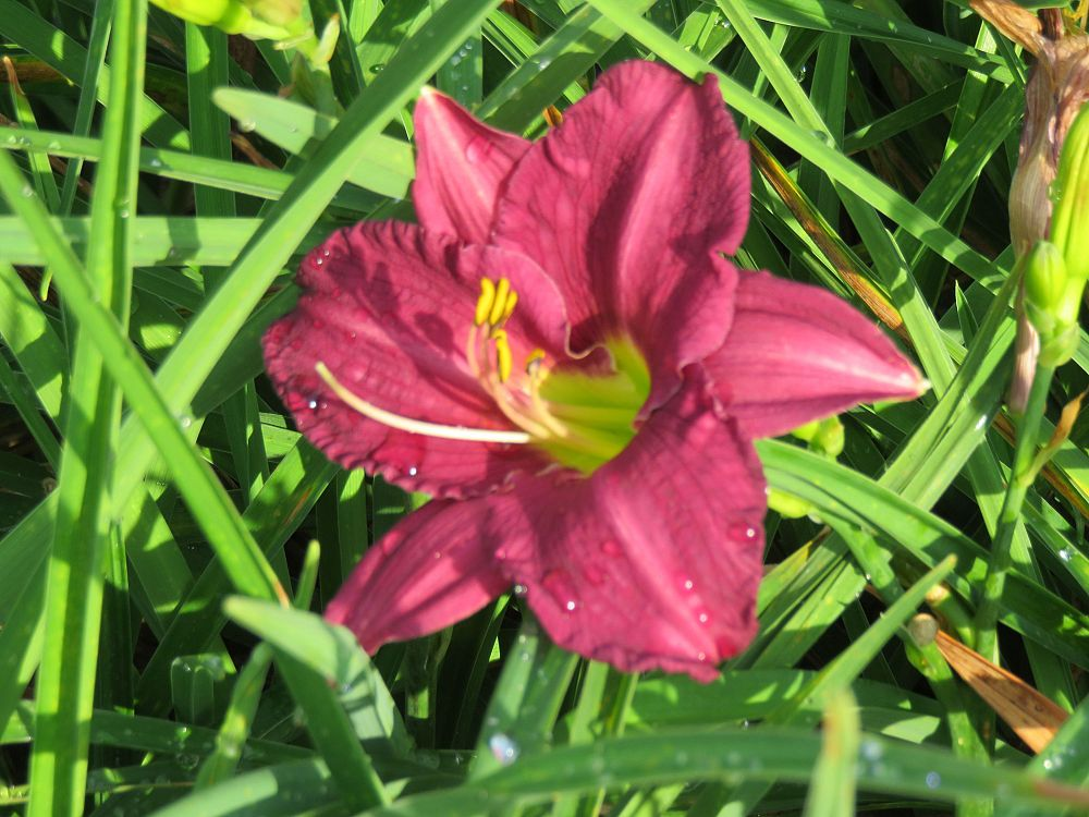 hemerocallis-grape-ripples-daylily