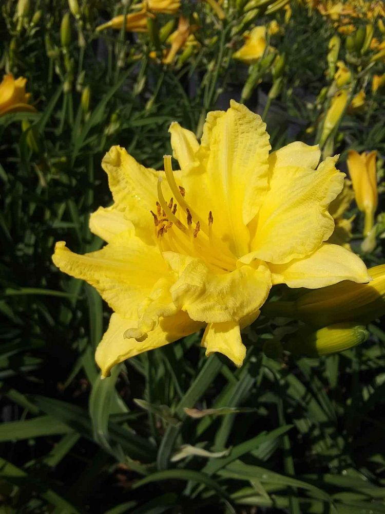 hemerocallis-happy-returns-daylily
