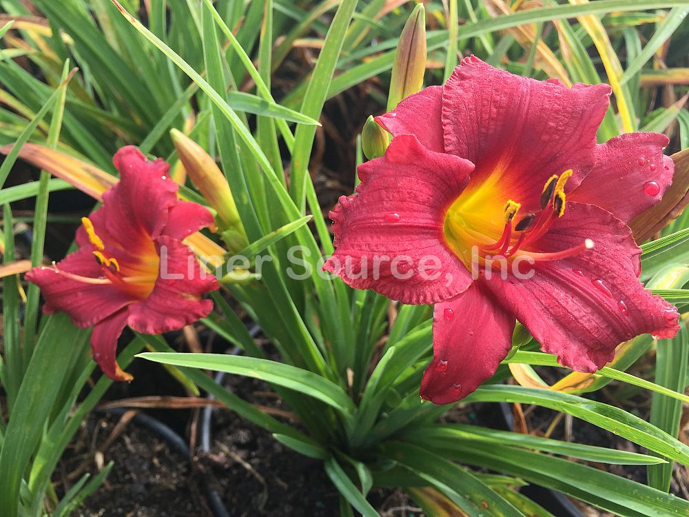 hemerocallis-little-business-daylily