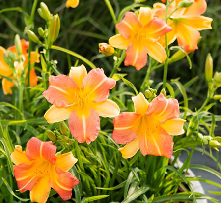 hemerocallis-ver00204-punch-yellow-everydaylily-daylily