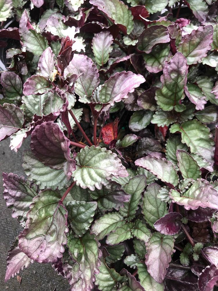 hemigraphis-alternata-red-flame-ivy