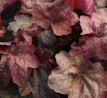 heuchera-carnival-candy-apple-alumroot-coral-bells