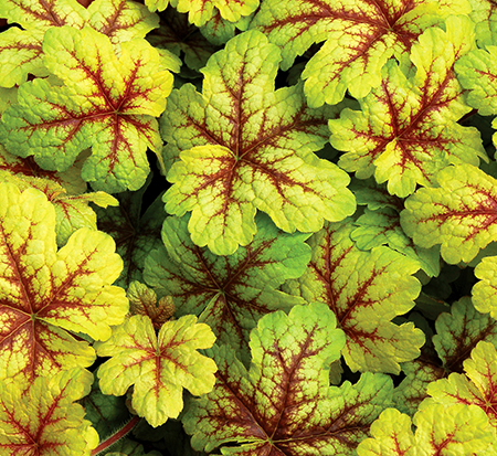 heucherella-alabama-sunrise-foamy-bells