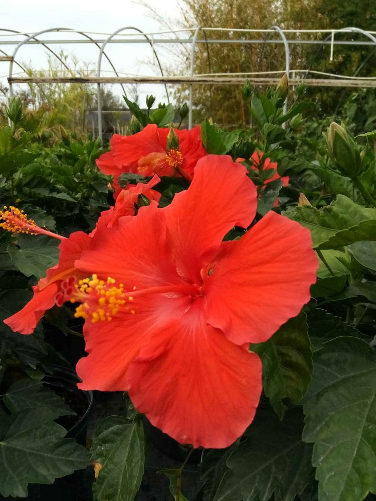 hibiscus-carnation-red