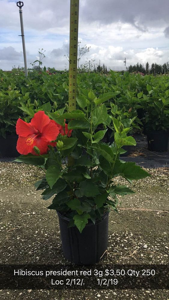 hibiscus-president-red