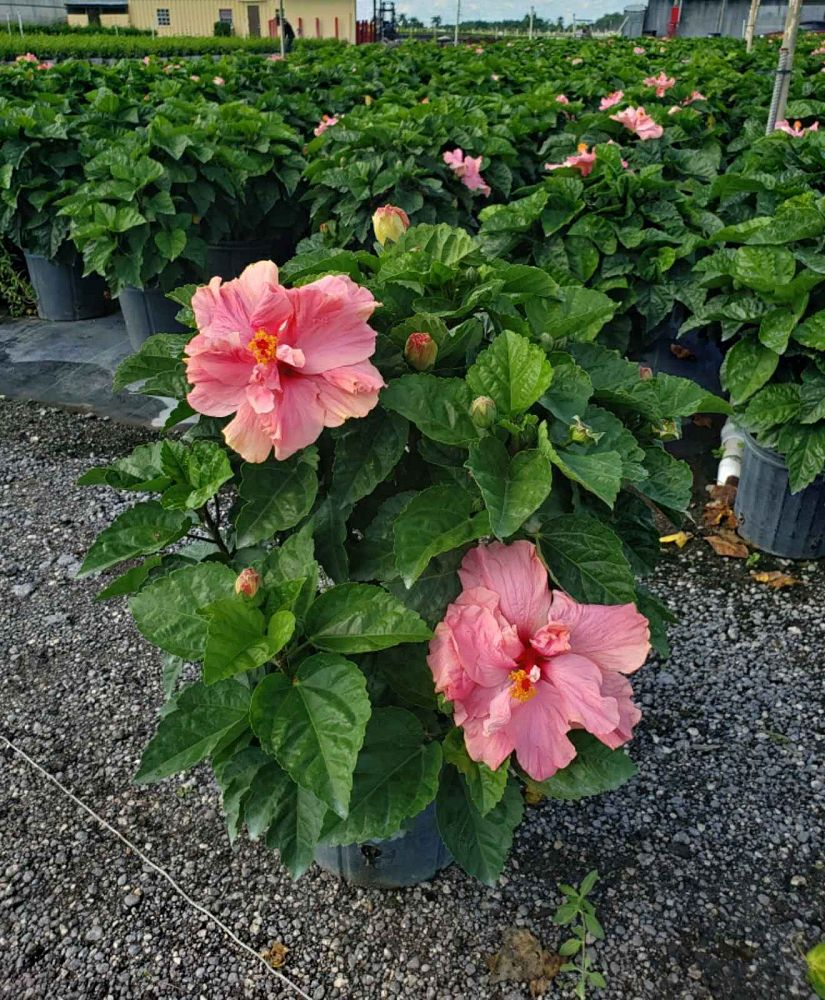 hibiscus-rosa-sinensis-double-classic-pink-tropical-hibiscus