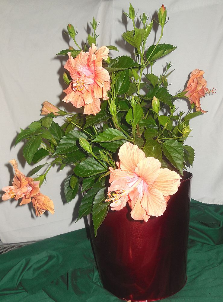 hibiscus-rosa-sinensis-double-orange-tropical-hibiscus