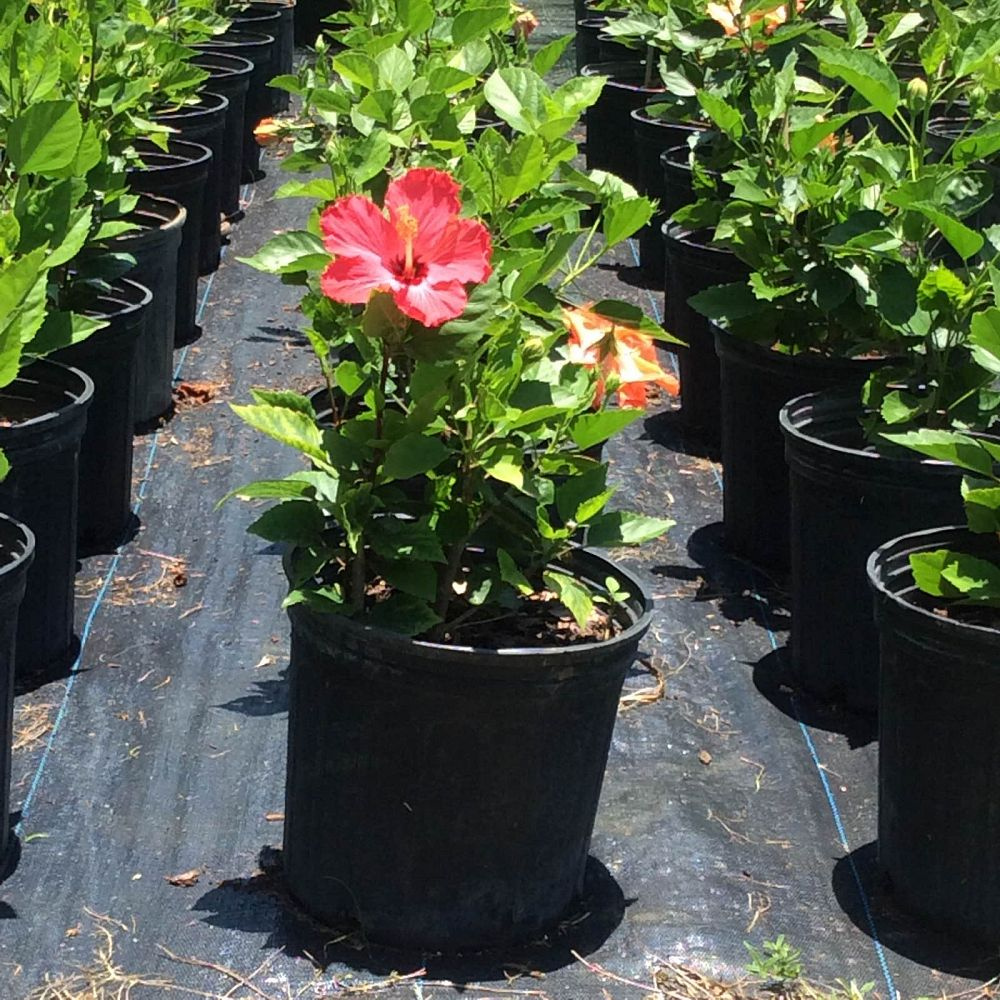 hibiscus-rosa-sinensis-double-red-chinese-hibiscus