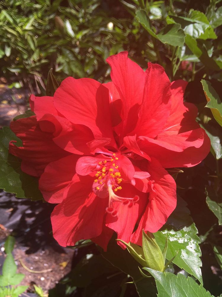 hibiscus-rosa-sinensis-double-red-tropical-hibiscus
