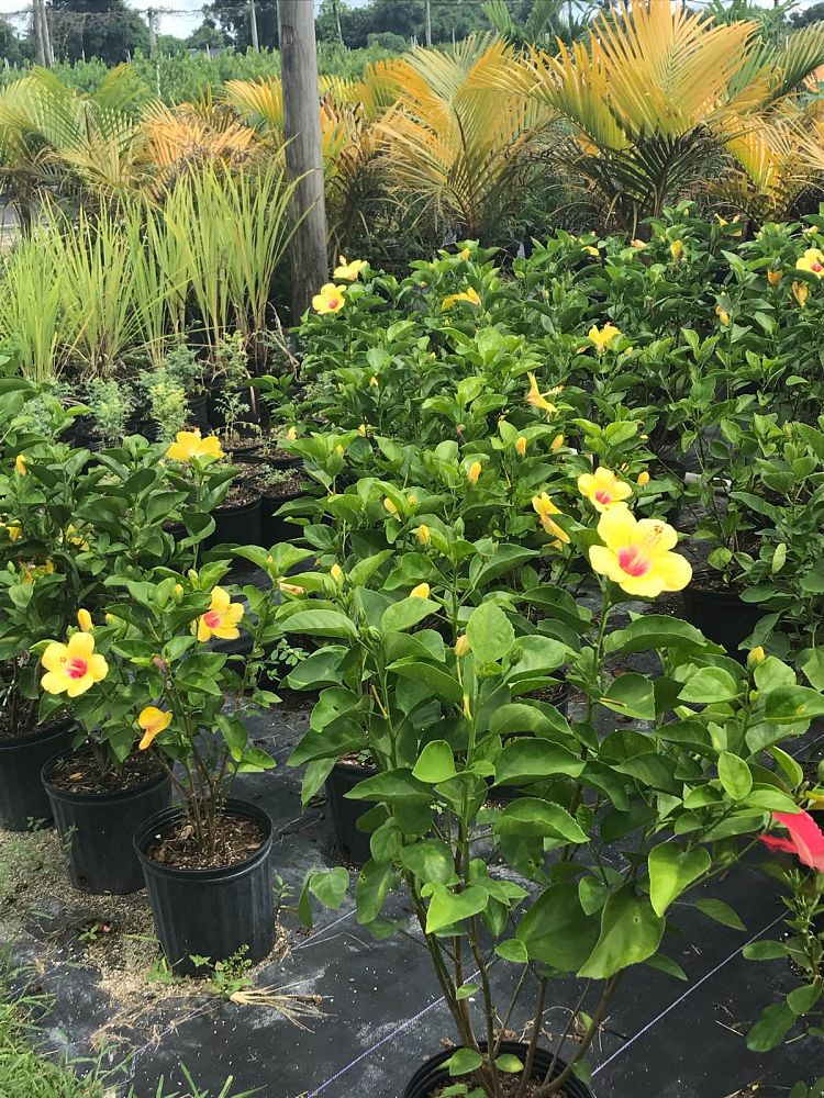 hibiscus-rosa-sinensis-hollywood-tropical-hibiscus