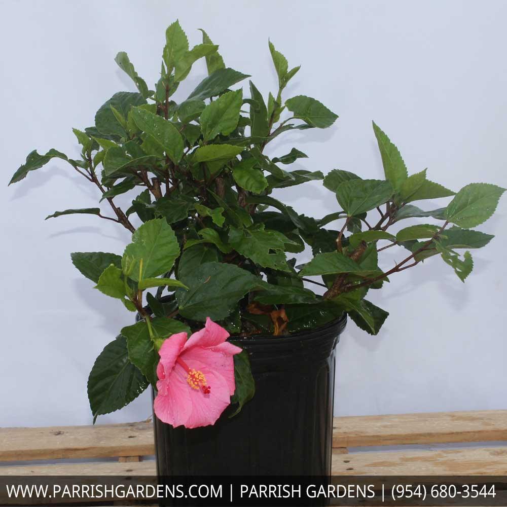 Hibiscus Tree Height Name