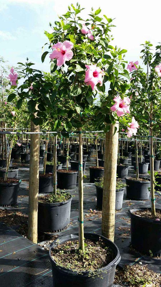 Victoria Farms Ornamental Plants Plantant Com