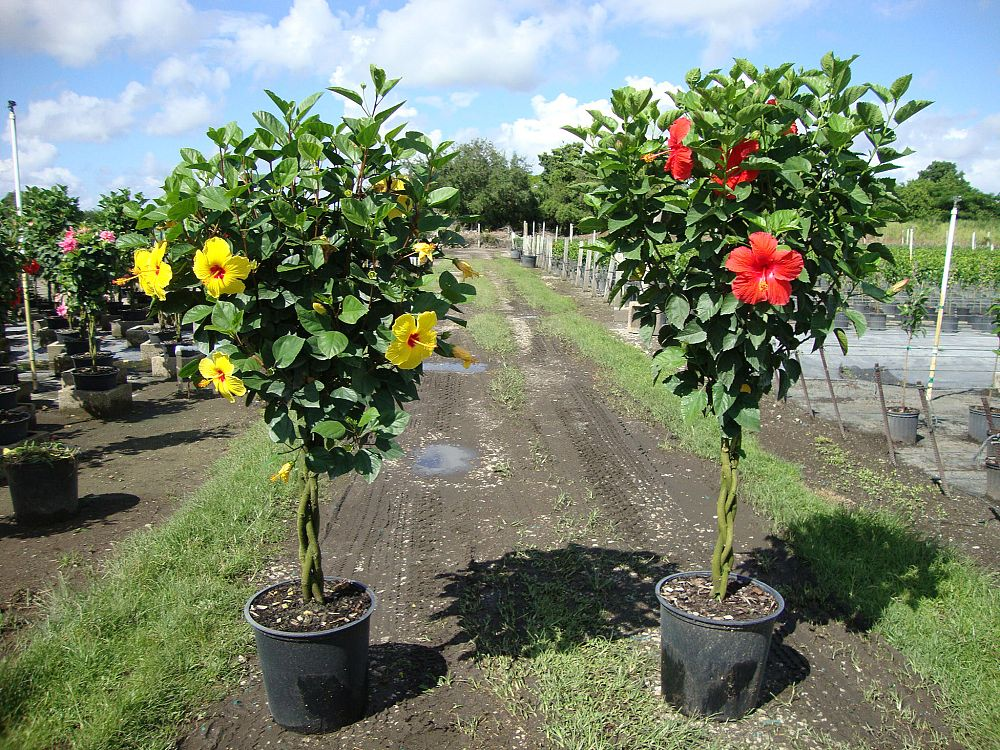 Florida Tuxedo Plants Plantant Com