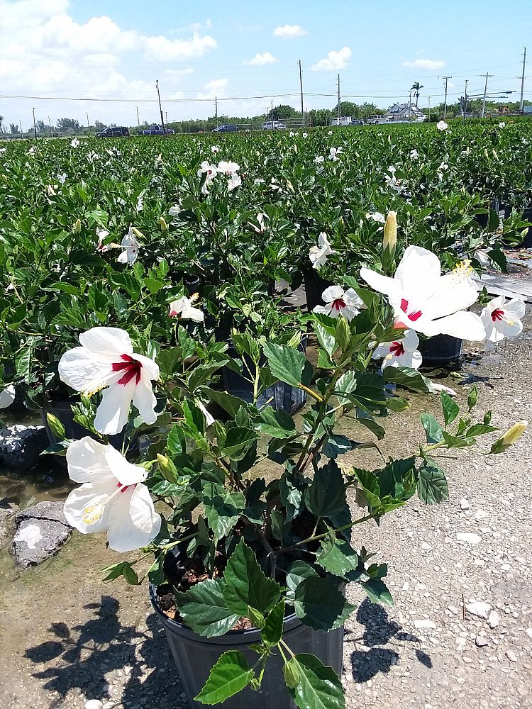 hibiscus-rosa-sinensis-white-wings-tropical-hibiscus