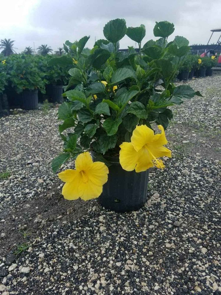 hibiscus-rosa-sinensis-yellow-moon-tropical-hibiscus