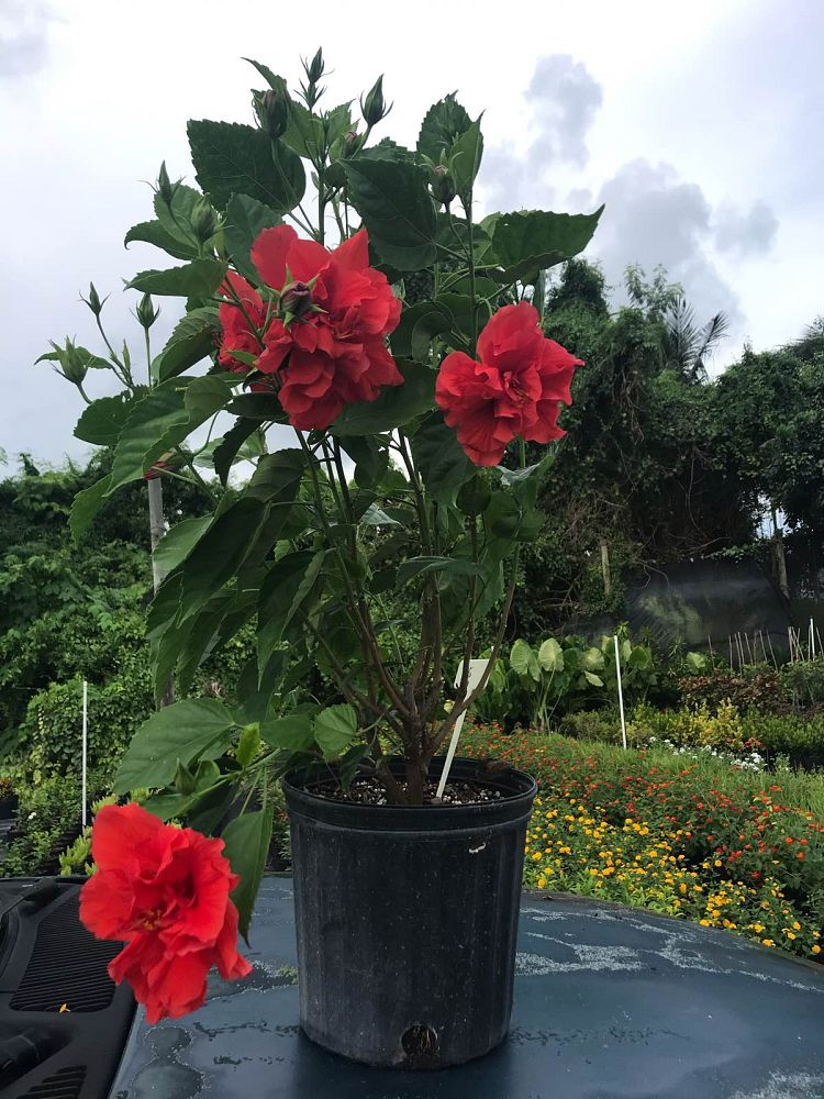 hibiscus-syriacus-double-red-rose-of-sharon-althea