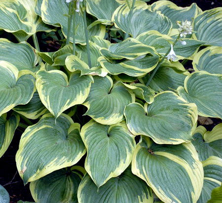 hosta-earth-angel-plantain-lily