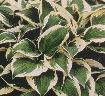 hosta-patriot-plantain-lily