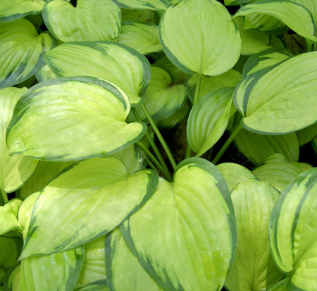 hosta-stained-glass-plantain-lily