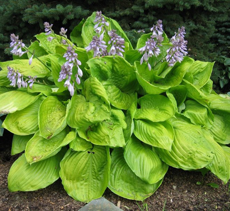 hosta-sum-and-substance