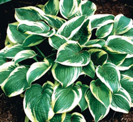 hosta-wide-brim-plantain-lily