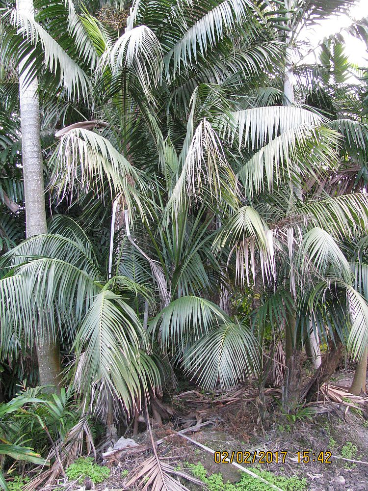 howea-forsteriana-kentia-palm
