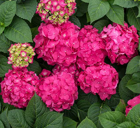 hydrangea-macrophylla-bailmacfive-summer-crush-endless-summer-hydrangea