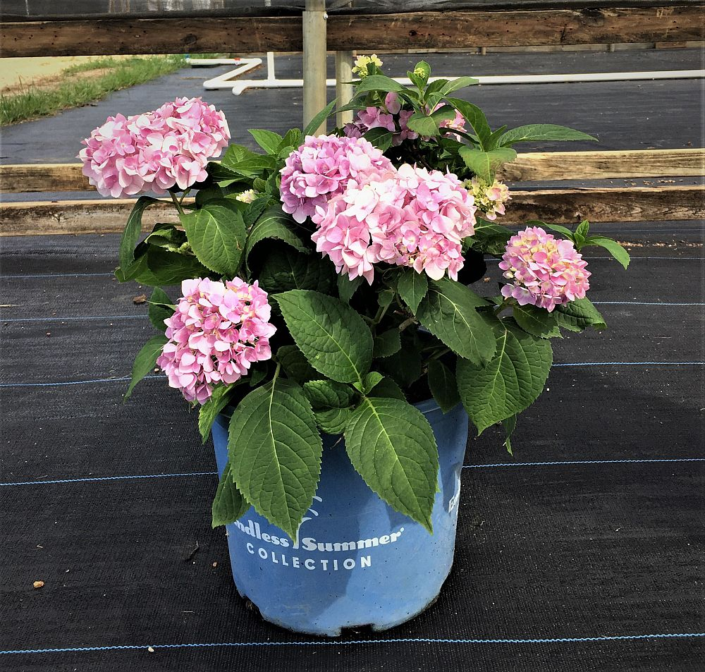 hydrangea-macrophylla-bailmer-hydrangea-endless-summer-the-original