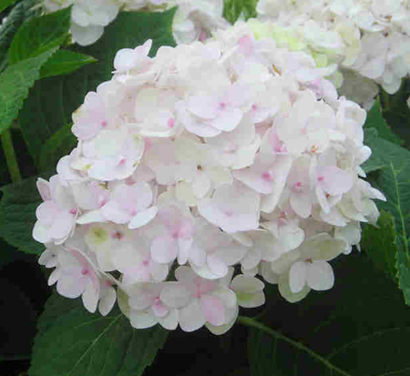hydrangea-macrophylla-blushing-bride-hydrangea-endless-summer-blushing-bride