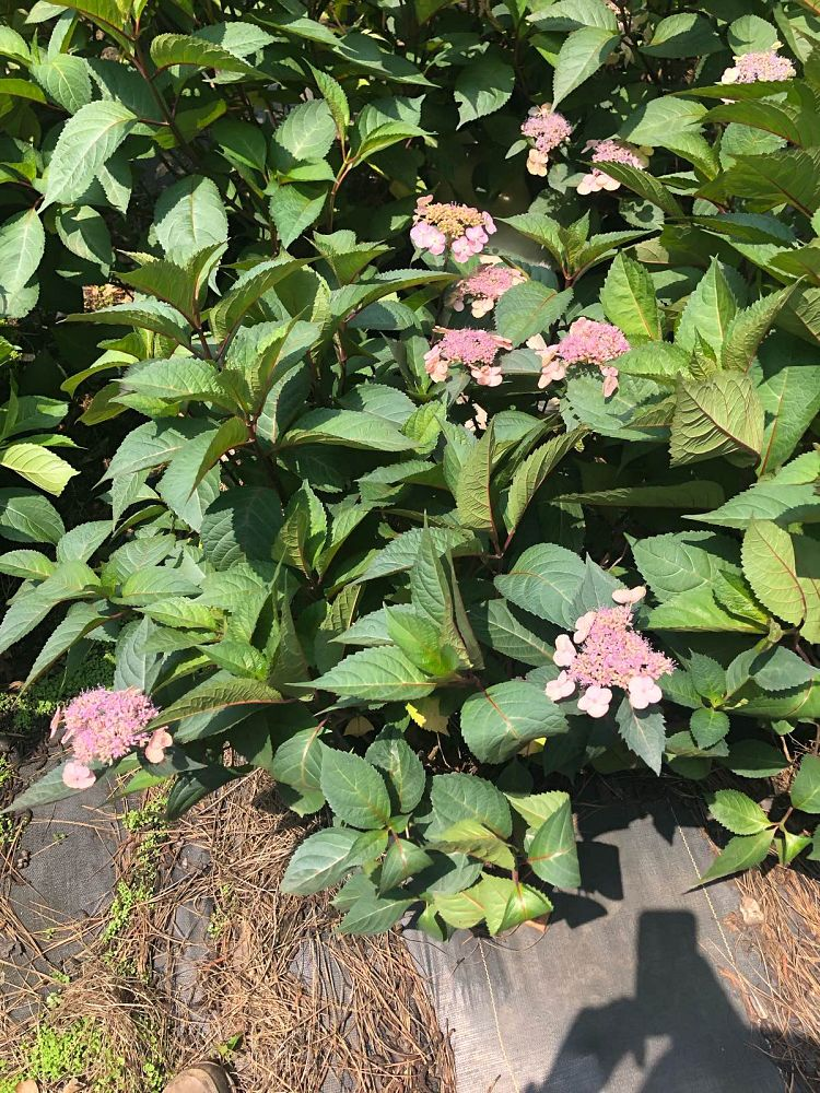 hydrangea-macrophylla-lady-in-red