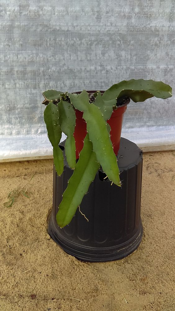hylocereus-guatemalensis-american-beauty-red-dragon-fruit