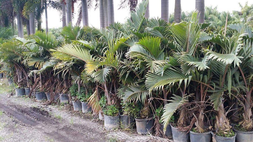 Ramon S Nursery Inc Plantant Com